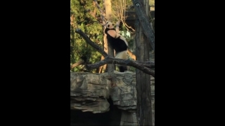 [NATL] Bei Bei Learns to Climb While Mom Helps