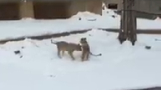 Lion Cubs Wrestle, Frolic in Snow at National Zoo