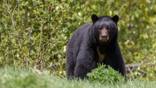 At Least Two Bears Sighted in McLean Area Recently