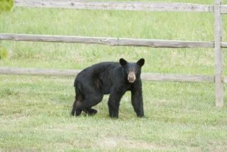Md. Bear Hunt Quote Rises With Population