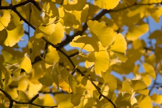 District Set to Begin Anti-Stink Spraying of Gingko Trees