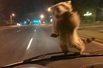 Raccoon Jumps on Moving Colorado Police Van, Takes a Ride