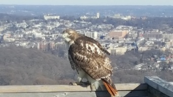 Cathedral Wants Help Naming Red-Tailed Hawk