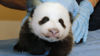 Panda Cub Weighs Five Pounds; Eyes Opened