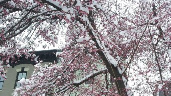 This Is Cherry Blossom Season?