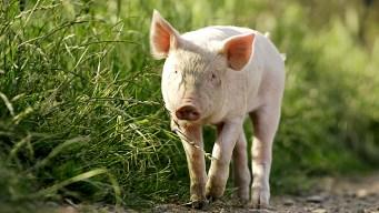 Six Cases of Swine Flu in Maryland