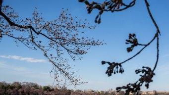 Cherry Blossoms Begin to Emerge