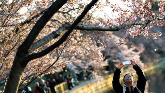 Think Spring? Peak Cherry Blossom Dates Revealed