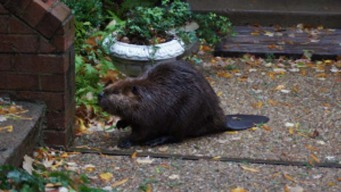 Floods Sweep Beavers Out of Streams, Into Suburbs
