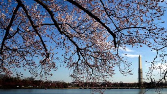 AAA Warns Cherry Blossom Festival-Goers About Parking