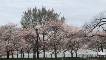 Cherry Blossoms Begin to Bloom; Peak Bloom Expected Thurs.
