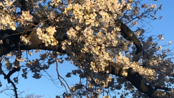 Cherry Blossoms' Peak Bloom Prediction Bumped up to April 1