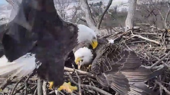 Where's Justice? High Drama Unfolds in SW DC Bald Eagle Nest