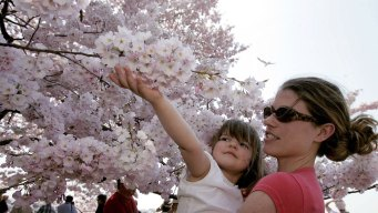 Cherry Blossom Parade, Street Fair This Weekend