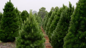 Giant Christmas Tree Farm Hit Hard by Sandy