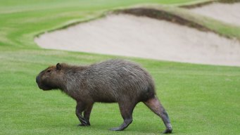Olympic Golf Course Overrun With Large Rodents
