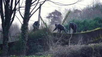 Impish Chimps Make Ladder, Escape Enclosure in Northern Ireland