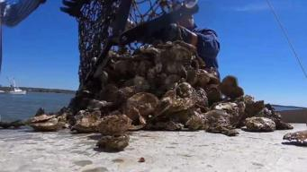 Climate Change Threatens Chesapeake Bay Oysters
