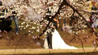 Crowds Pack Tidal Basin for Cherry Blossoms' Peak Bloom