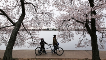 Best of the Cherry Blossoms: 1 Bloom-Filled Day Around DC <br />