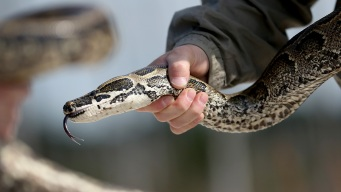 Florida Wants to Pay People to Hunt Pythons in New Program