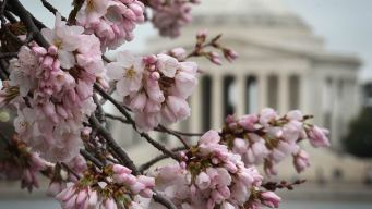 LIVECAM: See Cherry Blossoms From Your Desk