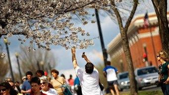 Cherry Blossom Festival: 8 Key Events