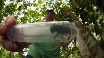 World's Largest Bee, Feared Extinct, Found in Indonesia