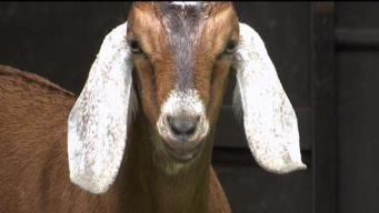 Goats Take a Bite Out of Park's Poison Ivy Problem