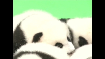 23 Giant Panda Cubs Make Public Debut