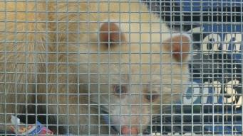 1 in 750K: Rare Albino Raccoon Captured in House Trap