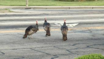 Turkey Trio Wreaking Havoc on Busy Roadway