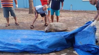 Lost Sea Turtle Heads Home