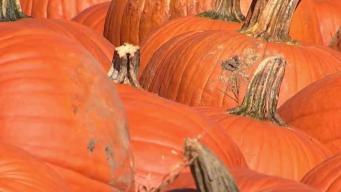 Tough Pumpkin Season Bumps Up Prices