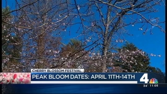 Peak Cherry Blossom Dates April 11-14
