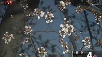 Cherry Blossom Festival Gets Busy Start