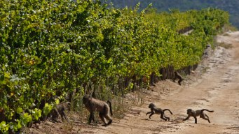 Wineries Hedge Against Climate Change, Move to Cool Climates
