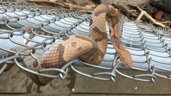 Copperhead Spotted in Park Near National Mall