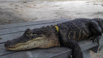 Fla. Woman Fights to Keep Pet Alligator 'Rambo' at Home