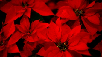 Ask Liz: Are Poinsettia Plants Toxic?