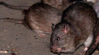 DC Is Nation's 3rd-Rattiest City