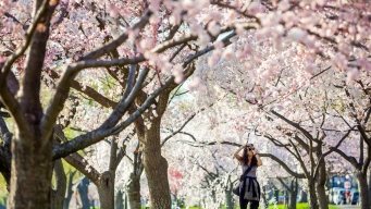 Cherry Blossoms' Peak Bloom Pushed Back 5 Days