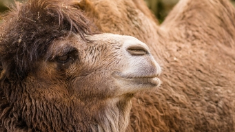 Circus Worker Trampled, Bitten by Camel at Fairgrounds in MD
