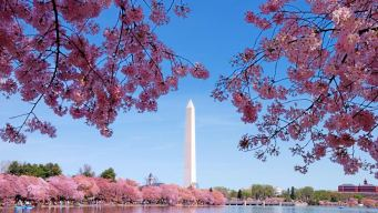 Cherry Blossom Peak Bloom Dates Announced