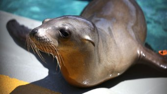 Sea Lion Pup Strandings to Be Investigated