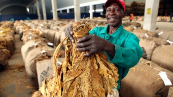 Tobacco as the Next Biofuel