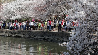 Cherry Blossoms at Peak Bloom