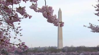 Cherry Blossoms Approach Peak Bloom