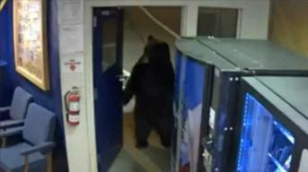 Dexterous Bear Opens Door, Strolls Into CHP Facility