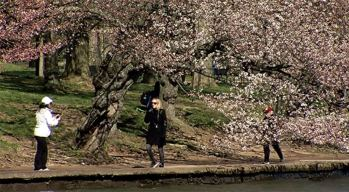 Cherry Blossoms Are OK Despite Temperature Drop